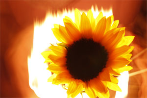bruning-sun-flower